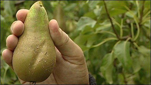 pear-cider
