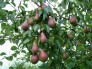 pear-fruits-tree