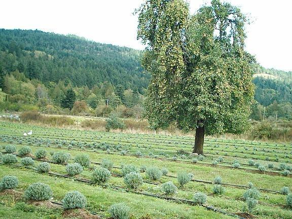 pear-tree-variety