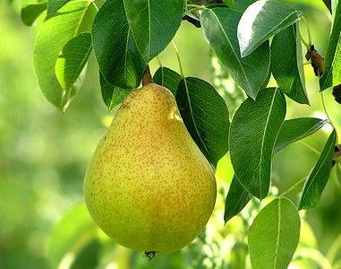 [Image: pear_tree.jpg]