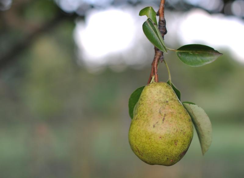 plant-pear-2